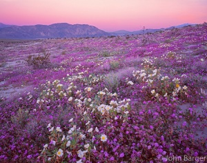 CADAB 110 -   Desert sand verbena and dune evening primrose blooming on dunes at sunrise with Coyote Mountain in the distance, Anza-Borrego Desert State Park, California, USA --- (4x5 inch original, File size: 6110x4800, 83.9mb uncompressed)